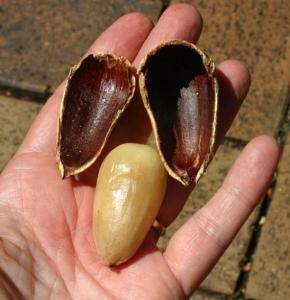 shelling-bunya-nuts
